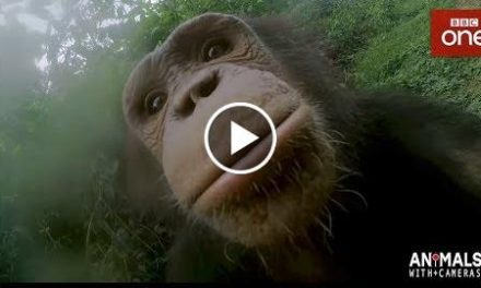 How Does A Chimp Wash Its Hands? – Animals With Cameras Episode 1  BBC One