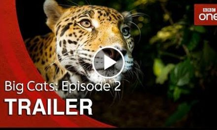 Big Cats: Episode 2  Trailer – BBC One