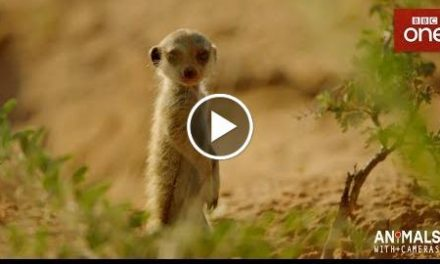 Extraordinary Footage of Baby Meerkats  – Animals With Cameras Episode 1  BBC One
