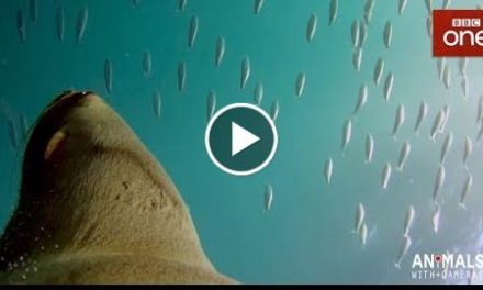 What happens when a fur seal sees a dolphin? – Animals With Cameras: Episode 2  BBC One