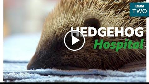 Looking after a Hedgehog – Hugh's Wild West – BBC Two