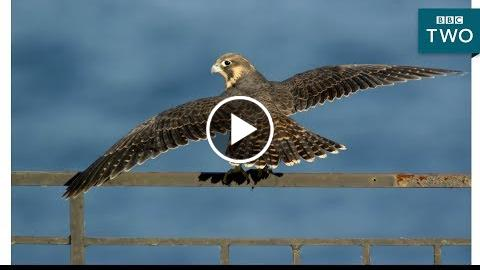 Baby Falcons Learn to Fly: Super Fast Falcon – BBC Two