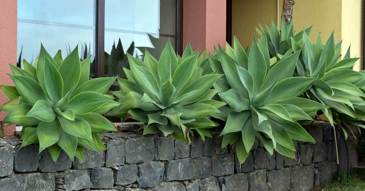 Agave Attenuata Care: Learn To Grow The Fox Tail Agave