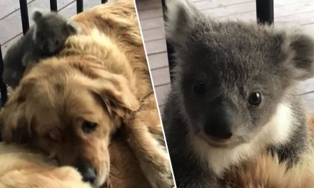 Golden Retriever Saves Baby Koala's Life By Cuddling It