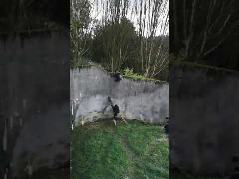 Chimpanzees caught trying to escape from a zoo in Belfast
