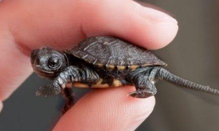 Saving B6, The Adorable Tiny Turtle