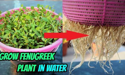 How To Grow Fenugreek or Methi plant without soil  || Hydroponic method