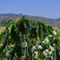 Exploring The Catuaí Coffee Variety
