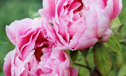 Tips for Planting, Growing and Caring for Peonies