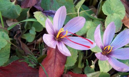 How To Grow Saffron: The Most Expensive Spice
